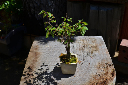 mogu-bonsai-20190413-03.jpg