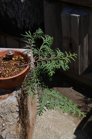mogu-bonsai-20190413-09.jpg