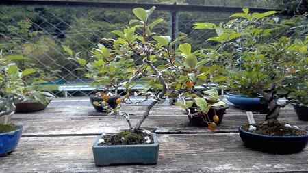 mogumogu-hurukawa-bonsai.jpg
