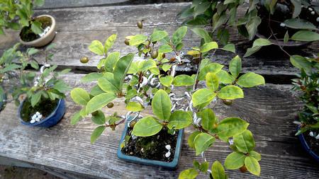 mogumogu-hurukawa-bonsai02.jpg